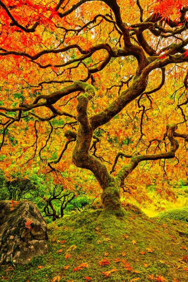 japanese maple tree portland