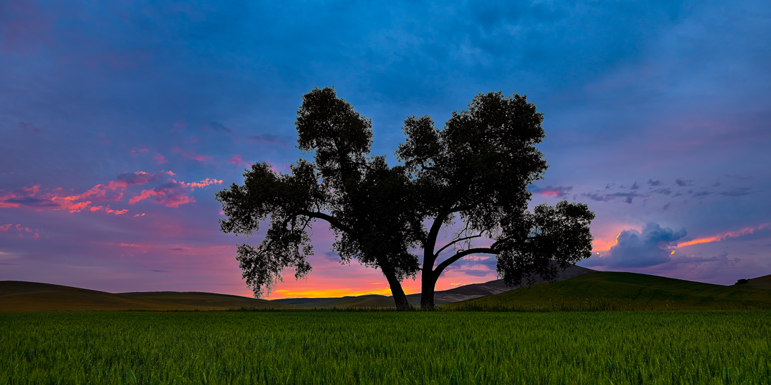 palouse sunrise tree