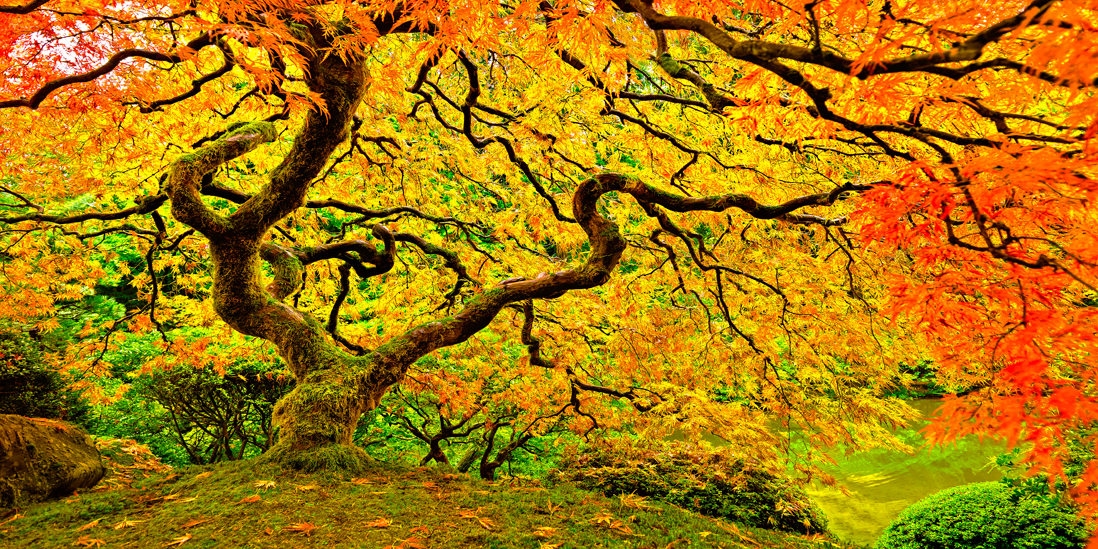 portland oregon japanese maple tree