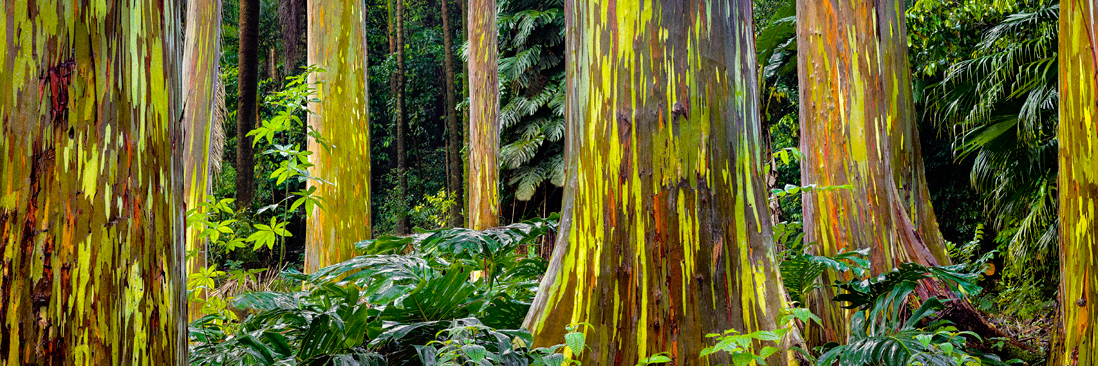 maui trees rainbow eucalyptus hawaii