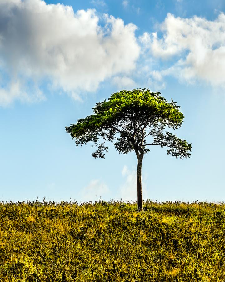 Kauai tree