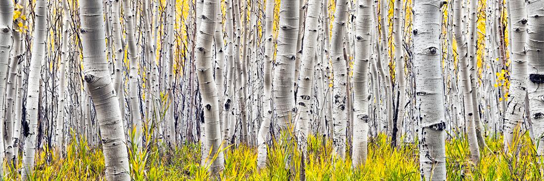 utah aspen trees