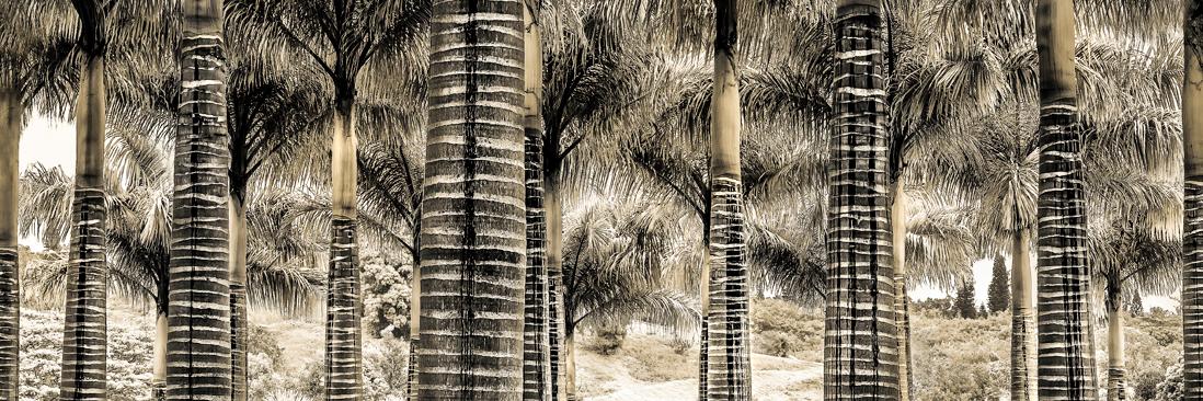 palm trees kauai hawaii