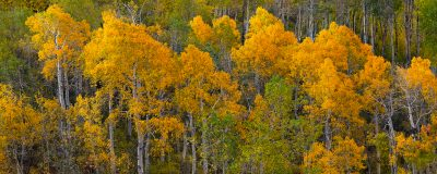 utah aspen trees fall autumn