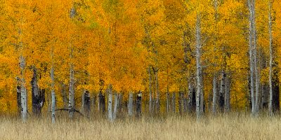 aspen trees autumn fall utah