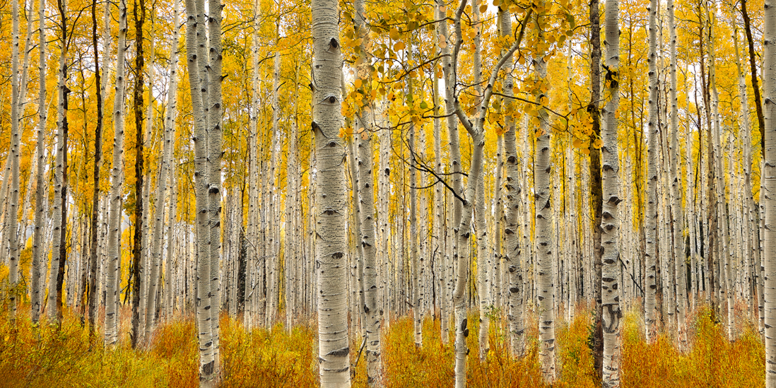 aspen grove trees utah autumn fall
