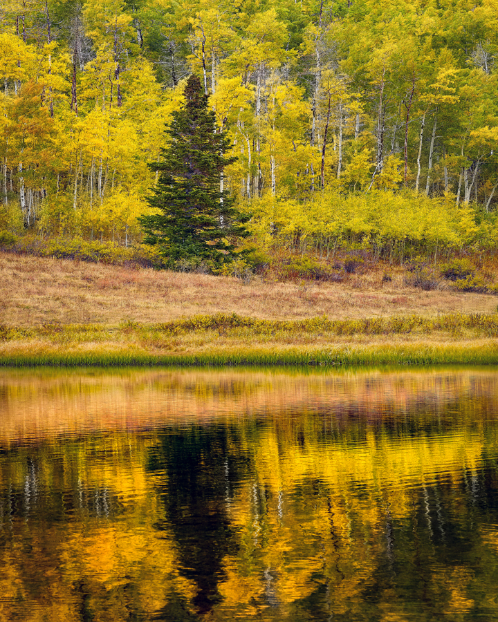 aspen pine tree utah autumn