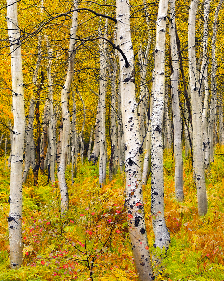 aspen ferns utah autumn trees