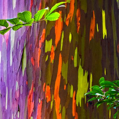 maui hawaii tree rainbow eucalytups